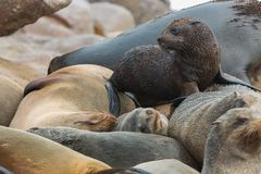 Sea Lions sleeping and baby Royalty Free Stock Images