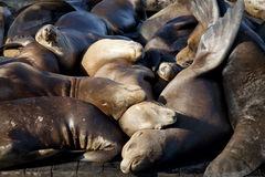 Sea Lions Sleeping on Dock Royalty Free Stock Photos