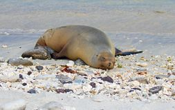 Sea Lions sleeping on the Galapagos Islands beaches stock image