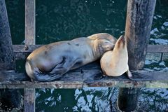 Sea lions. Sleeping sea lions on pier in California Stock Images