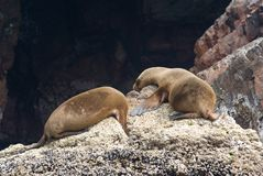 Sea Lions sleeping on a rock Stock Images