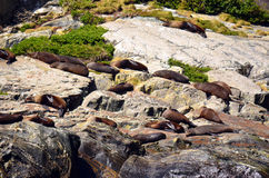 Sea Lions sleeping on a rock Royalty Free Stock Photography