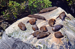 Sea Lions sleeping  on a rock Royalty Free Stock Image