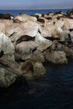 Sea lions sleeping on the rocks. San Francisco,USA-september 28,2008:The California sea lion ,Zalophus californianus at Pier 39, in the east of Fisherman's Wharf Royalty Free Stock Photography