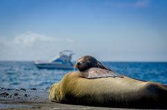 Sea lions sleeping together in the galapagos Stock Photo