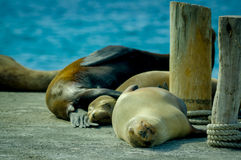 Sea lions sleeping together in the galapagos Royalty Free Stock Photos