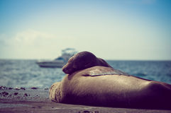 Sea lions sleeping together in the galapagos Royalty Free Stock Photo