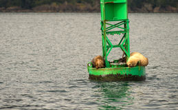 Sea Lions Slumber Ocean Buoy Reserrection Bay Sea Wildlife Royalty Free Stock Photography