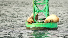 Sea Lions Slumber Ocean Buoy Resurrection Bay Sea Wildlife stock video