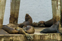Sea lions on the stone city beach Royalty Free Stock Photo