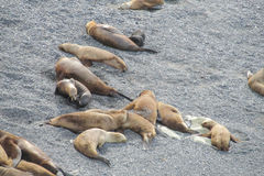 Sea lions on the stones Stock Photos