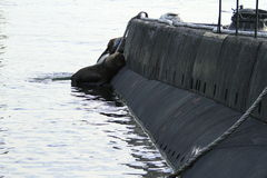 Sea Lions on a submarine Stock Photography