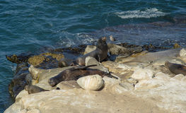 Sea Lions Sun Bathing Stock Images