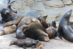 Sea Lions sunbathing on the Pacific Ocean Coast. Royalty Free Stock Photography