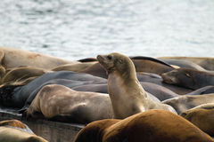 Sea Lions Sunning Barge Pier 39 San Francisco Royalty Free Stock Photo
