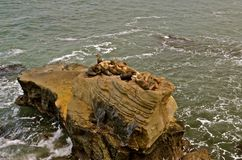 Sea Lions Sunning on a Rock. A group of brown sea lions rest on top of a rock with the ocean waves below Royalty Free Stock Photo