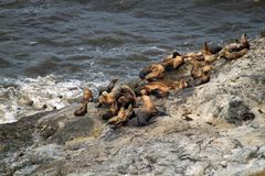 Sea lions sunning themselves on a rock beach Royalty Free Stock Images
