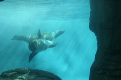 Sea lions swimming. Two seals swimming gracefully underwater Royalty Free Stock Images