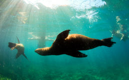 Sea lions swimming around snorkelers Royalty Free Stock Image