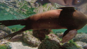 Sea lions swimming underwater in slow motion stock footage