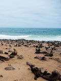 Sea lions to Cape Cross, Namibia, Africa Royalty Free Stock Photos