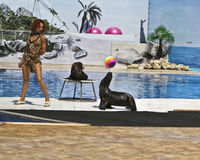 Sea lions and trainer on show Stock Photography