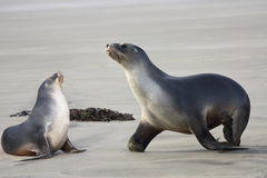 Sea lions two Stock Photo
