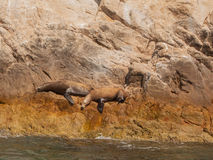Sea lions. Two sea lions on rocks at Lands End in Cabo San Lucas, Mexico Royalty Free Stock Images