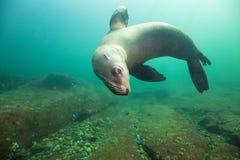 Free Sea Lions Underwater Stock Photos - 90081223