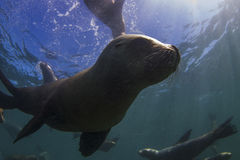 Sea Lions. Underwater, Patagonia, Argentina royalty free stock image