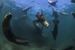 Sea Lions. Underwater, Patagonia, Argentina royalty free stock photos