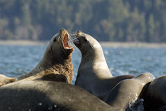 Sea Lions-Vancouver Island Stock Images