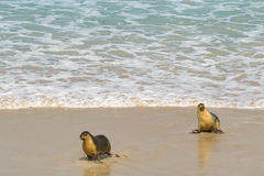 Sea lions walking back to the seashore after swimming at Seal Ba Royalty Free Stock Photography