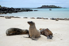 Sea lions on a white sandy beach. Landscape of the Galapagos (Ecuador). Sea lions are extended on a white sandy beach of the island of Sante Fe. Sky and ocean Stock Photo