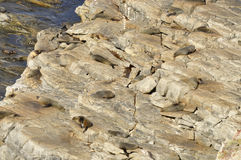 Sea lions who like to rest on the rocks Royalty Free Stock Image