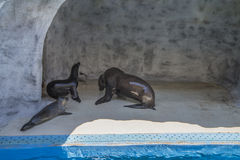 Sea lions in a zoo Royalty Free Stock Photography