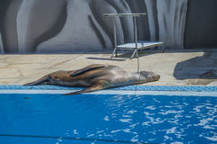 Sea lions in a zoo Stock Image