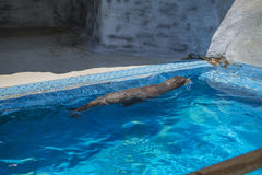 Sea lions in a zoo. The photo is shot at Zoomarine, Guia, Portugal one day in July 2013 royalty free stock photo