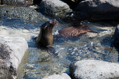 Sea Lion with Pool Royalty Free Stock Image