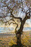 The sea, a lonely tree on the beach at sunrise .Evropa, the Balkans, Greece, Attica, Athens. Stock Photography