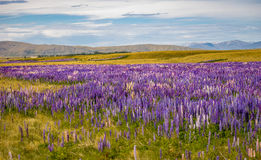 A sea of lupins Stock Image