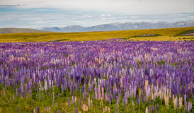 A sea of lupins Stock Photography