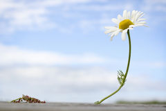 Sea Mayweed. Flower against blue sky Stock Photo