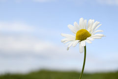 Sea Mayweed. Flower against blue sky Stock Images
