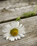 Sea Mayweed. Flower on a wooden table Royalty Free Stock Photos