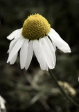 Sea Mayweed. Portrait of a Sea Mayweed Royalty Free Stock Photography