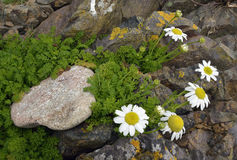 Sea Mayweed Royalty Free Stock Photography