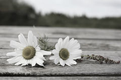 Sea Mayweed. Two Sea Mayweed plants on a wooden table Royalty Free Stock Photography