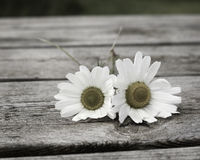 Sea Mayweed. Two Sea Mayweed plants on a wooden table Royalty Free Stock Images