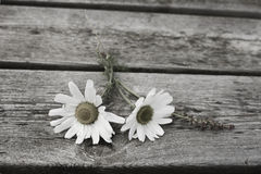 Sea Mayweed. Two Sea Mayweed plants on a wooden table Stock Photo